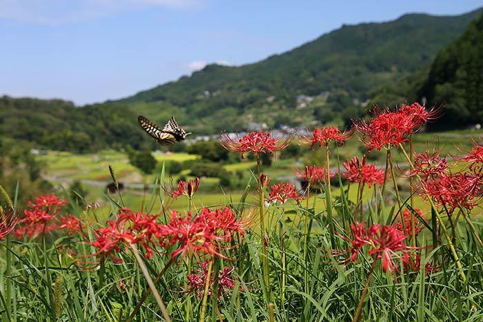 稲渕 ヒガンバナ5