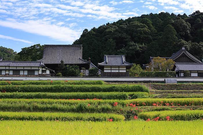 橘寺 ヒガンバナ2