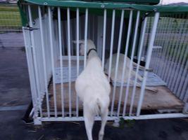 【写真】アランの小屋の柵の隙間から入ろうとするもののお腹が引っかかって入れないポール