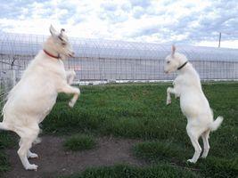 【写真】向き合いながら前足を高くあげて遊ぶアランとポール