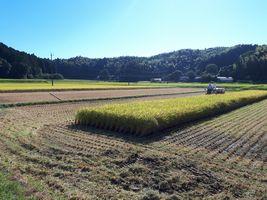 【写真】のどかな田園風景の中、稲を刈り取る様子