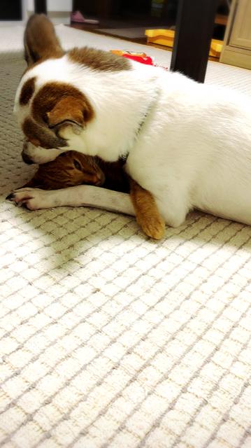弟猫のとらすけを毛づくろい中💕