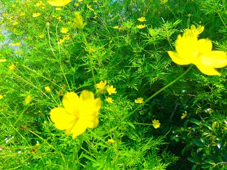 【秋の道端の黄色いコスモス】①