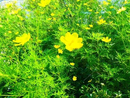 【秋の道端の黄色いコスモス】②