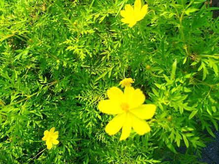 【秋の道端の黄色いコスモス】③
