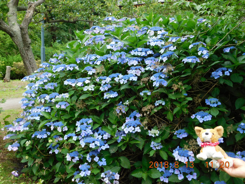 8DSCN0142だて (9)青花とらび