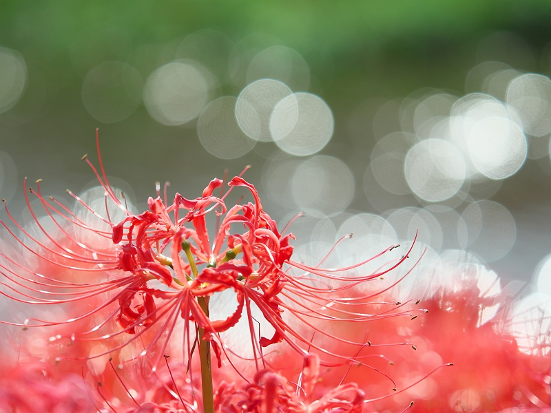 彼岸花が咲く頃 2