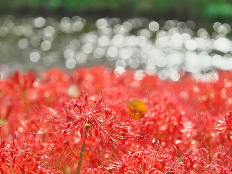彼岸花が咲く頃 4