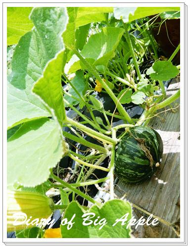菜園の南瓜