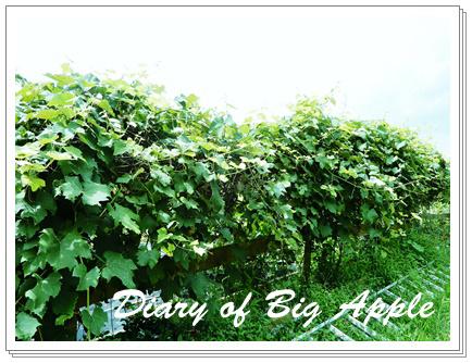 垣根の葡萄