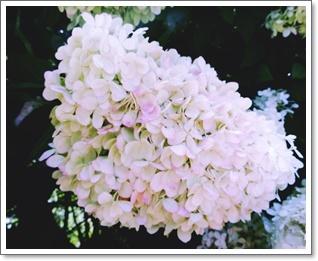 木紫陽花がピンクに