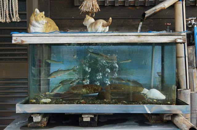 てる喜の前にある水槽にいる鮎達