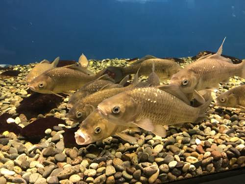 琵琶湖博物館のニゴロブナ