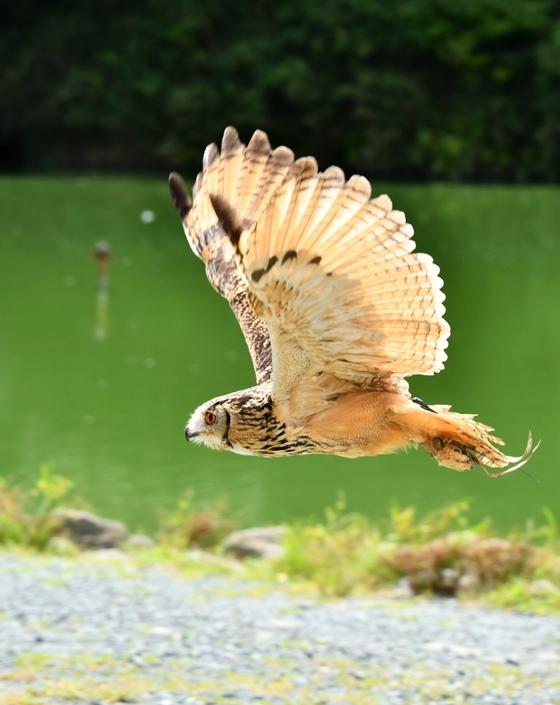 フクロウ飛翔リサイズ