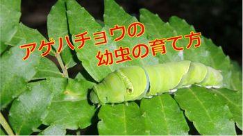 アゲハ蝶幼