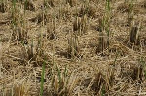 稲刈り跡1