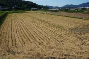 稲刈り跡3