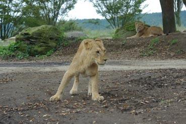 若ライオン1