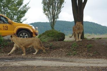若ライオン2