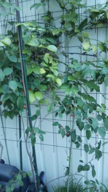 ジュンベリーの収穫