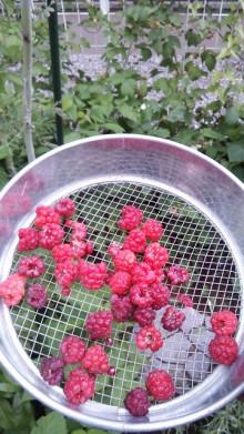 ラズベリー収穫