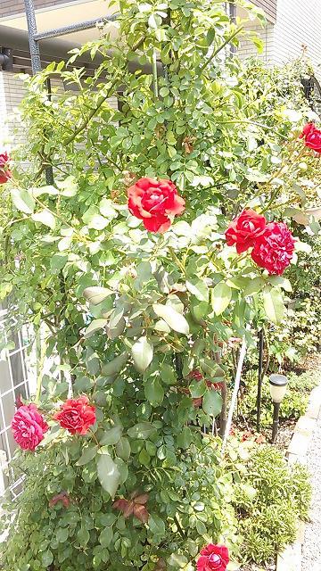 s-バラ二回目開花