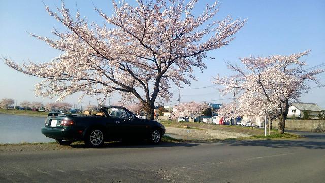 伊佐沼の桜.