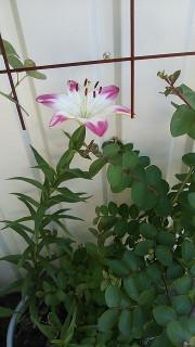 ロリーポップの花