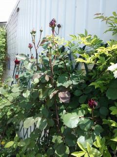 赤いバラ2