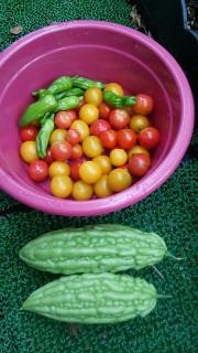 家庭菜園夏の収穫