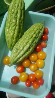 夏の家庭菜園収穫