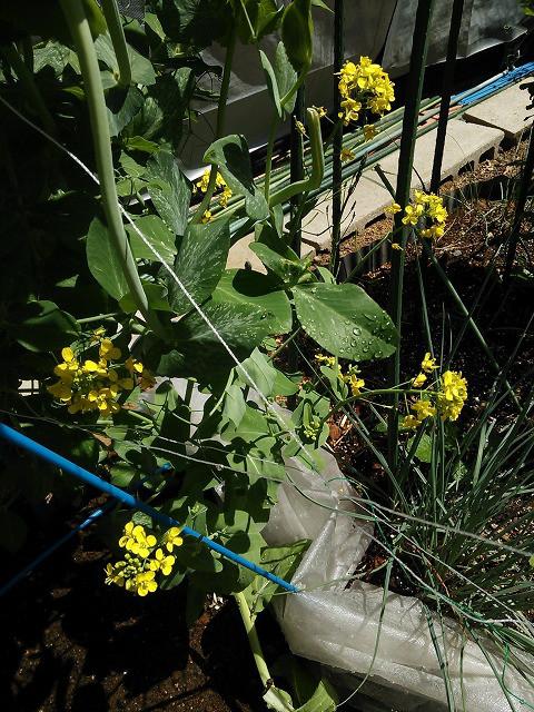 家庭菜園 咲いた小松菜