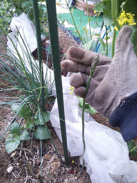 家庭菜園 アスパラ