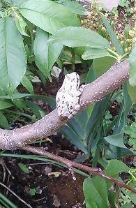 枝垂れ桃に明細風アマガエル