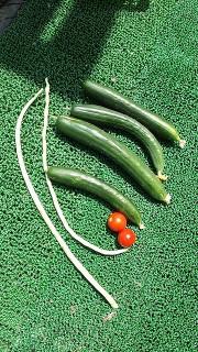 夏野菜収穫2 (3)