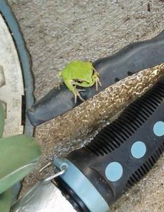 庭にいたカエル
