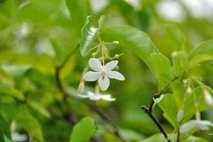 White Flower, Lumpini Park, Bangkok Thailand