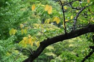 Yellowed Leaves of Sakura Tree