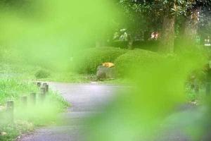 Chappy The Cat Through Platanus Leaves