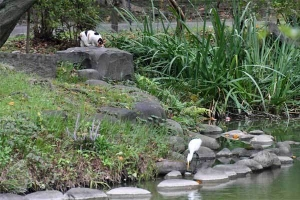 Sakura-chan The Cat and Great Egret