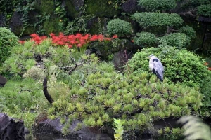 Spider Lilies and Grey Heron