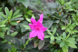 Azalea Out of Season