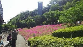 20180422芝桜(その3)
