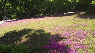 20180422芝桜(その4)