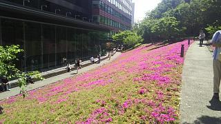 20180422芝桜(その5)