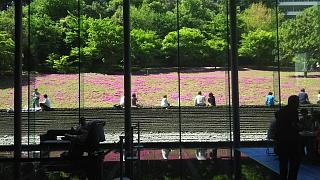 20180422芝桜(その8)