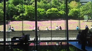 20180422芝桜(その9)