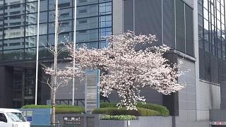 20180324花見(その11)