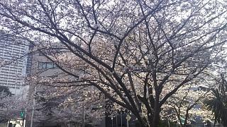 20180326桜(その1)