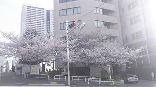 20180326桜(その2)